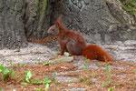 Ein flinker Geselle das Eichhörnchen