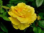 Die gelbe Rose mag ich am liebsten
