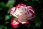 Ich liebe Rosen in ihrer Vielfaft