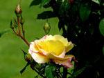 Die erblühte Rose mit ihren Knospen