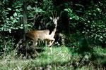 Das nenne ich mit der Kamera auf die Jagd gehen, meine Beute ein schöner Rehbock