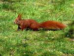 Das Eichhörnchen ein flinker Geselle
