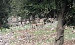 Anatolian Shepherd Dogs, Alakilise