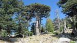 Huge tree, Tahtali