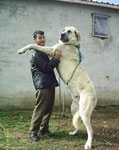 Anatolian Shepherd Dog (picture from archive, Thanks God!)