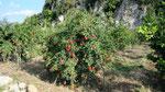 Pomegranate tree, Adrasan