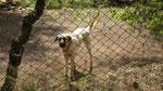 Shepherd dog, Beycik
