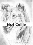 Nr.4 Collie