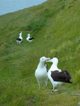 Albatros Colony Dunedin