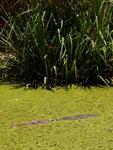 ... und ein Krokodil