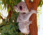Koala - was dann sonst...