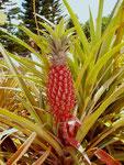 Dôle Ananas Plantage, Honolulu, O'ahu, USA