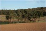 Bosquet de pins (Beaugies)