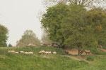 Elevage de moutons