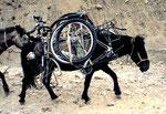 Cyclo-muletier au Zanskar