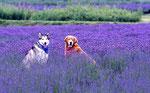 愛犬とラベンダー(玉原)