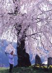 おばあちゃんの桜(沼田)