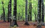 新緑のブナ林(玉原)