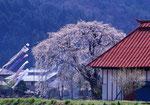 桜と鯉のぼり(沼田)