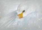 zwaan, krijt op gerecycled papier, 13 x 19 cm n.t.k.