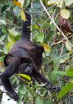 Howler Monkey, Brulaap