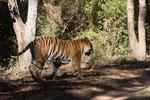 Tiger, Tijger