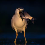 Night Heron, Kwak