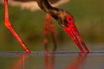 Black Stork, Zwarte Ooievaar