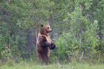 Brown Bear, Bruine Beer