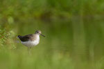Common Sandpiper, Oeverloper,