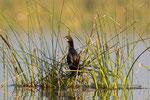 Little Cormorant, Dwergaalscholver,