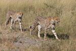 Cheetah, Jachtluipaard
