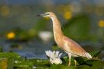 Squacco Heron, Ralreiger