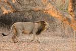 Asiatic Lion, Aziatische Leeuw