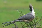 Bare-Faced Go Away Bird, Maskertoerako