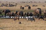 Elephants, Olifanten