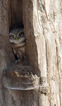 Indian Spotted Owlet