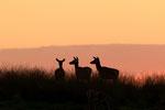 Edelhert bij zonsondergang, Red Deer at sunset