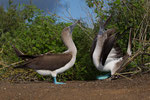 Blue Footed Booby courtship dance