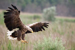 White Tailed Eagle, Zeaarend