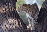 Leopard in Tree, Luipaard in boom,