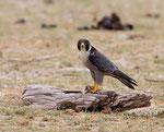 Peregrine Falcon, Slechtvalk
