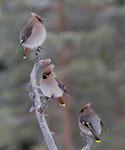 Bohemian Waxwing, Pestvogel,