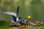 Black Tern, Zwarte Stern
