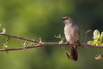 Arrow Marked Warbler
