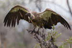 Witruggier, White Backed Vulture