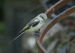 Masked Shrike, Maskerklauwier