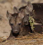 Hyena Cubs, Hyena jongen