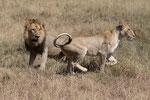 Lion and Lioness before mating, Leeuw en Leeuwin voor paring