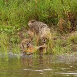 Golden Jackals fighting, Goudjakhalzen in gevecht